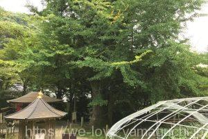 龍蔵寺の大銀杏