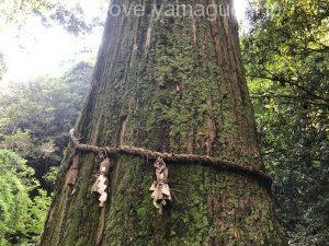 天然記念物の一本杉